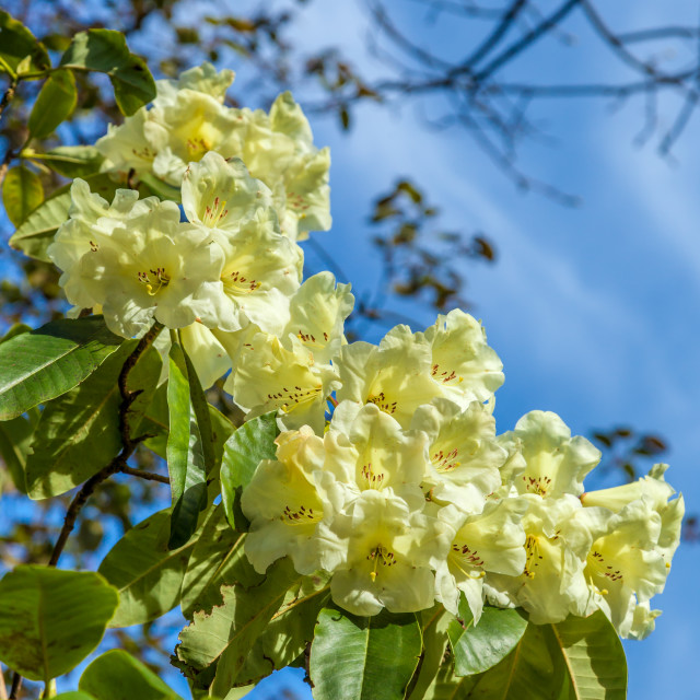 """Pale Yellow Rhododendrons"" stock image"