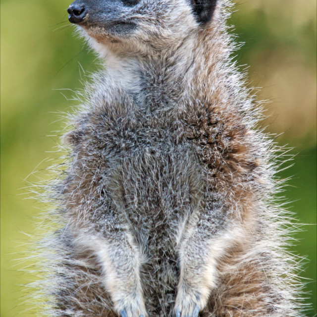 """Meerkat on guard duty"" stock image"