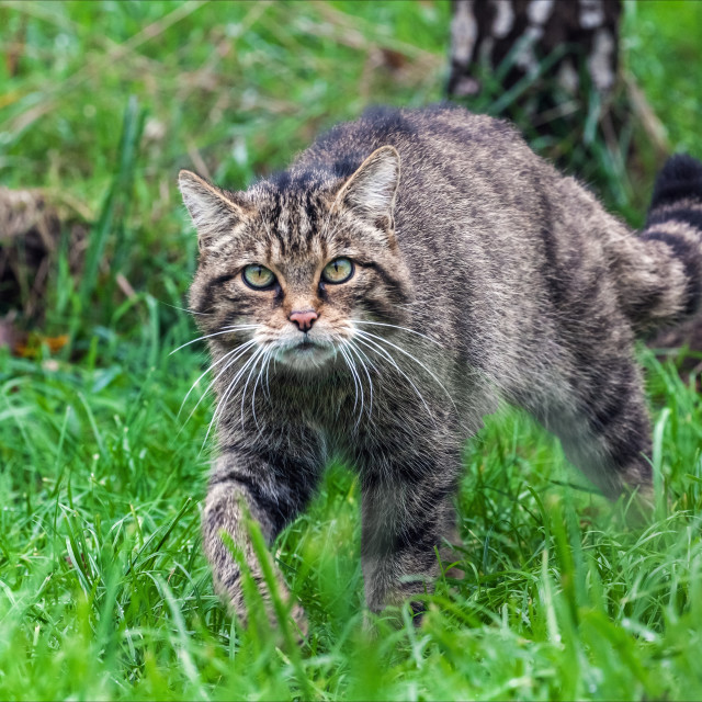 """Scottish Wildcat on the prowl."" stock image"