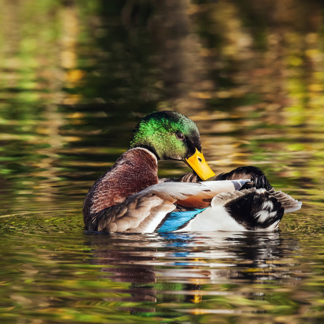 """Drake Mallard preening himself on a river coated in reflections"" stock image"