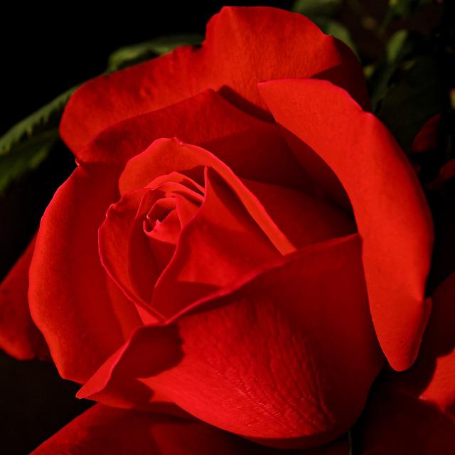 """Lighting Rose"" stock image"