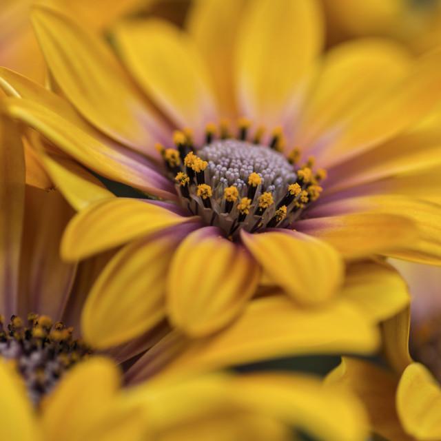 """Osteospermum closeup"" stock image"