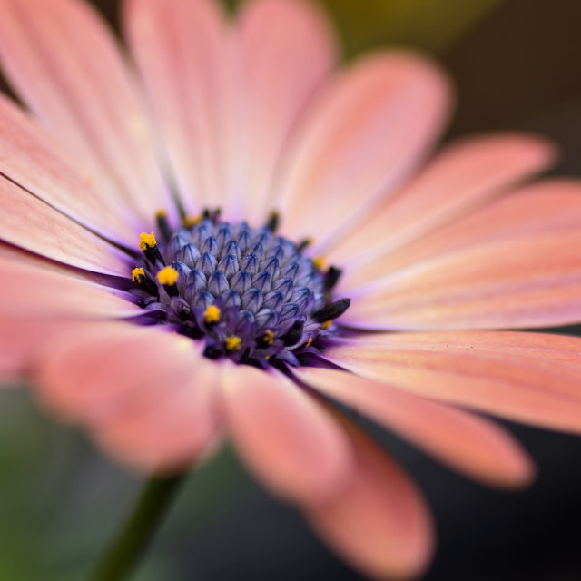 """Osteospermum Beauty"" stock image"
