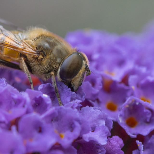 """""""Bee on Buddleia"""" stock image"""