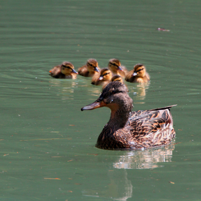 """""""Watchful Momma and babes"""" stock image"""