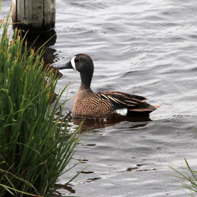 """Cinnamon Blue Duck"" stock image"