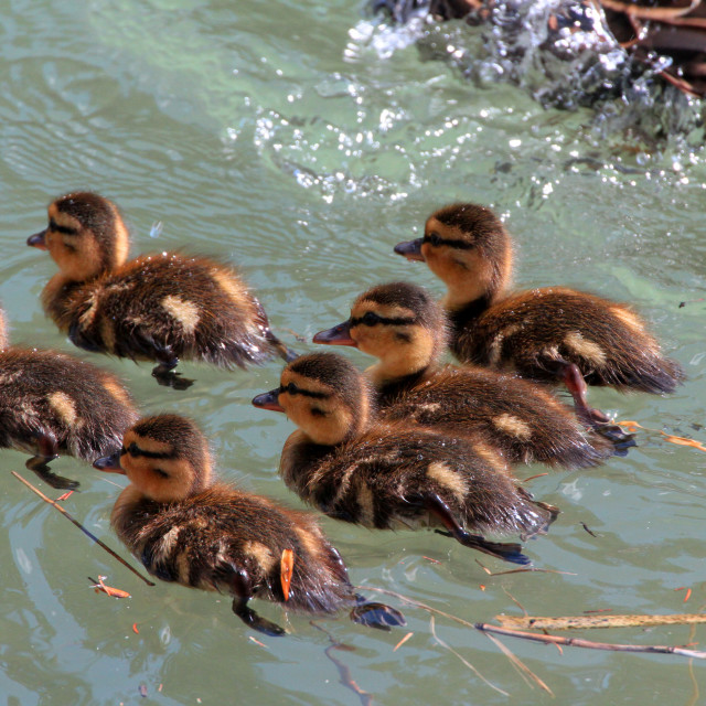 """""""Six babes a swimming"""" stock image"""