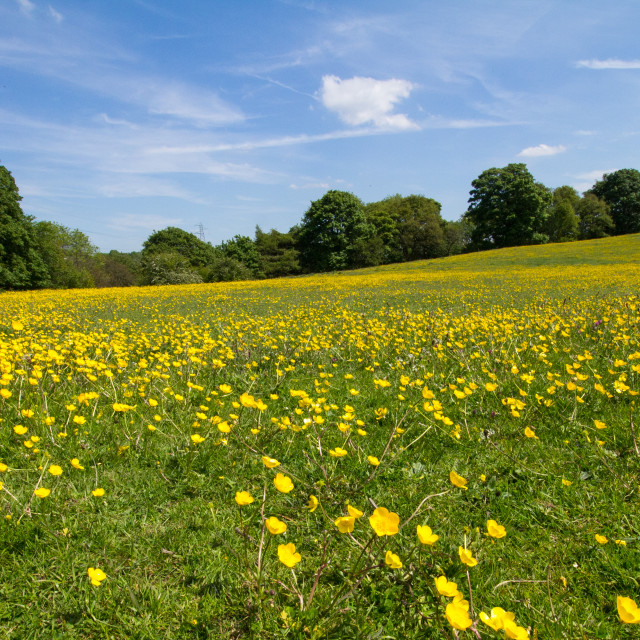"""Blue skies and Buttercups"" stock image"