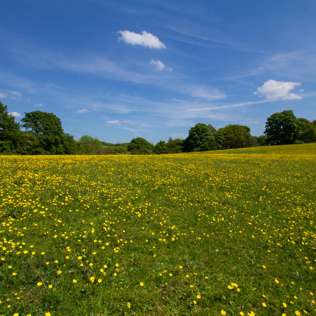 """Buttercups and Blue Skies"" stock image"