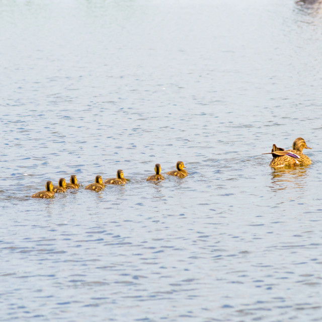 """""""Female Duck and Ducklings on the River"""" stock image"""