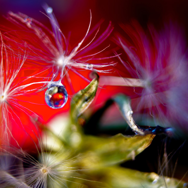 """""""Dandelion Seed with Water Drop"""" stock image"""