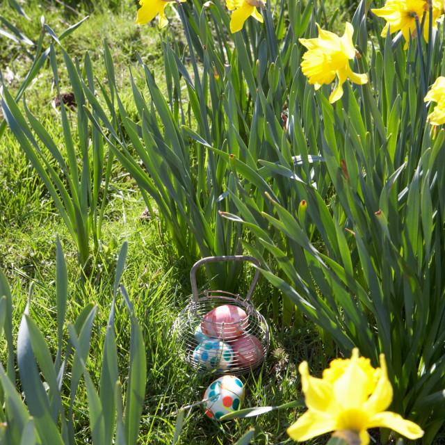 """Easter Eggs Hidden For Hunt In Daffodil Field"" stock image"