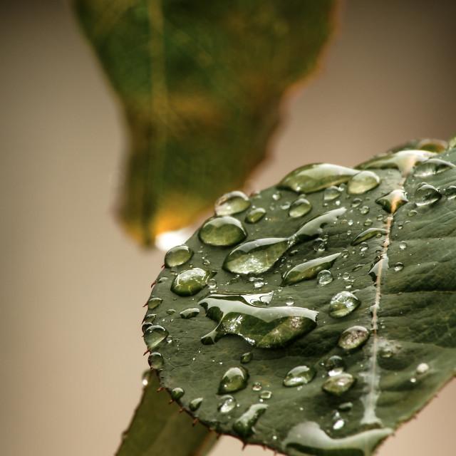 """""""Rose Drops Leaf"""" stock image"""
