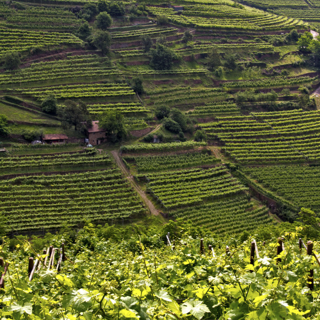 """Vineyards"" stock image"