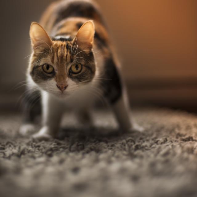"""""""Cat looking II"""" stock image"""