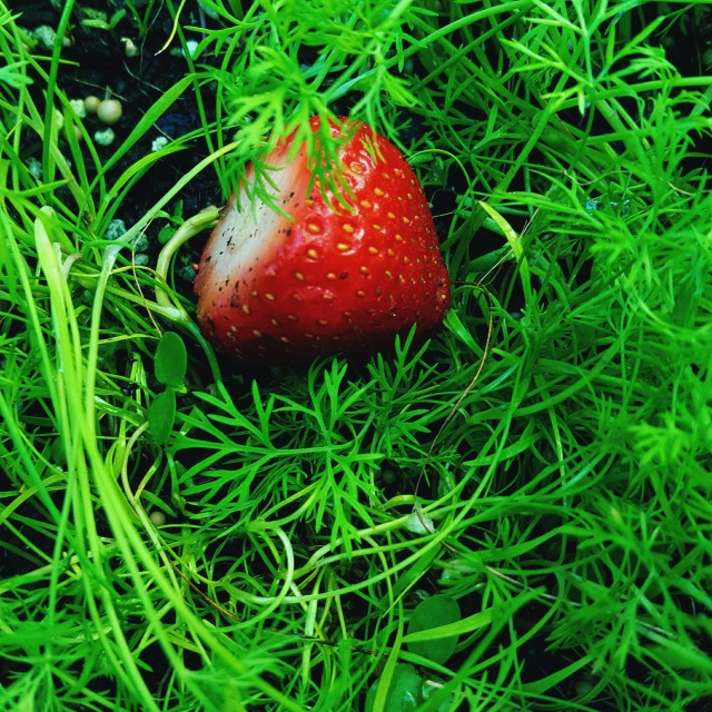 """One Strawberry in Herb Garden"" stock image"
