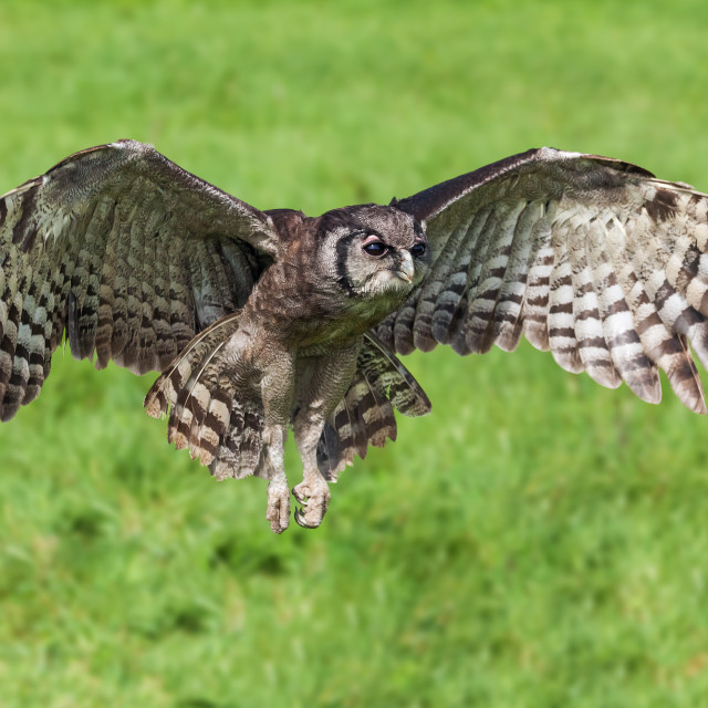 """Verraux's Eagle Owl in flight"" stock image"