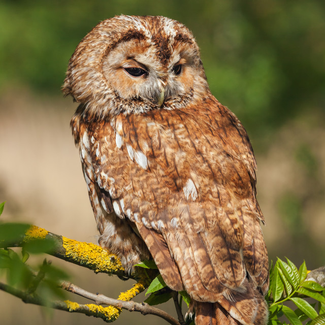 """Tawny Owl in the sun"" stock image"