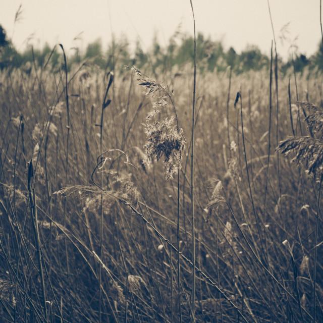 """Reeds"" stock image"