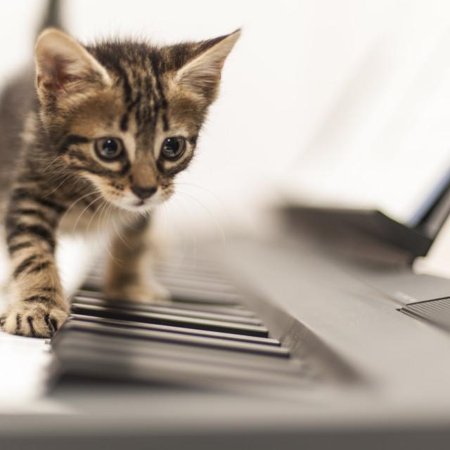 """Kitten playing piano"" stock image"