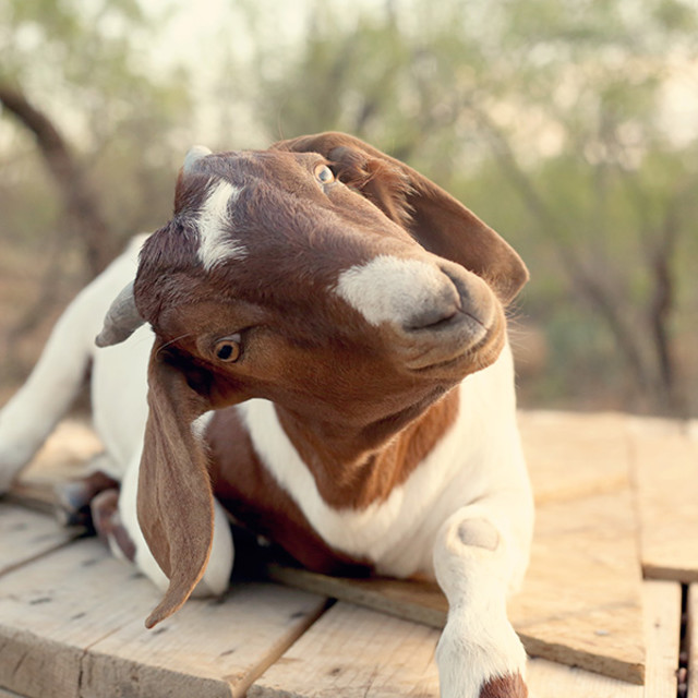 """Young goat"" stock image"
