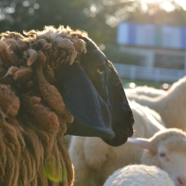 """The black sheep"" stock image"