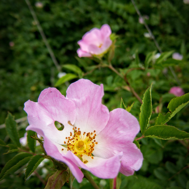 """Wild roses"" stock image"