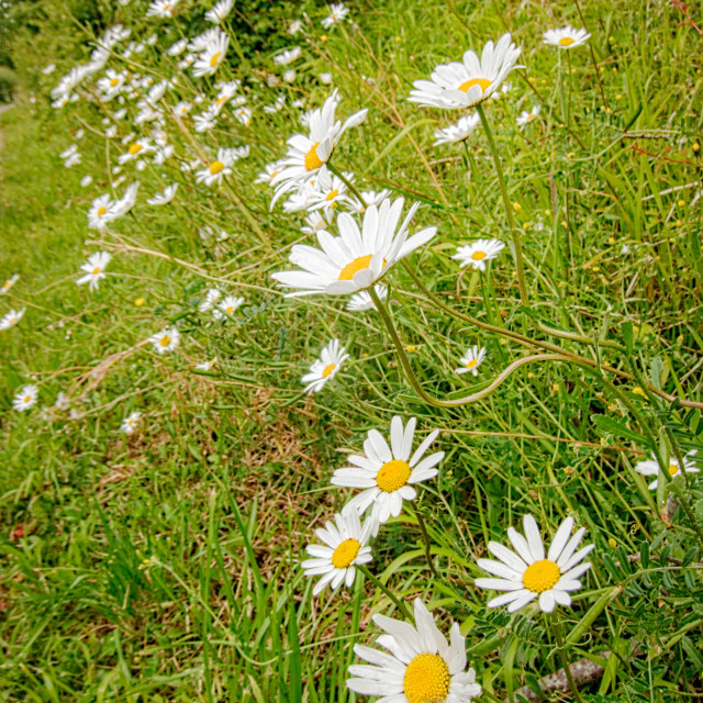 """""""Oxe eyed daisies"""" stock image"""