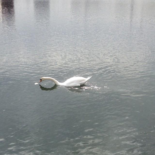 """Surrey Quays Swan"" stock image"