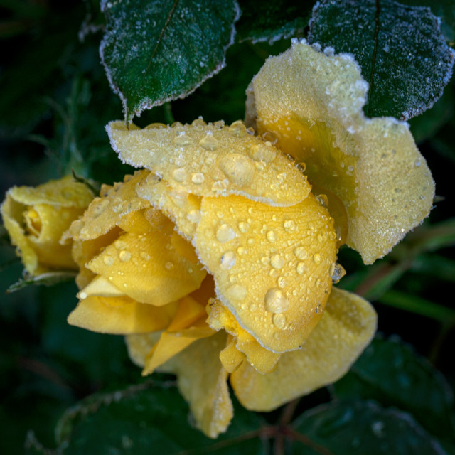 """iced yellow rose"" stock image"