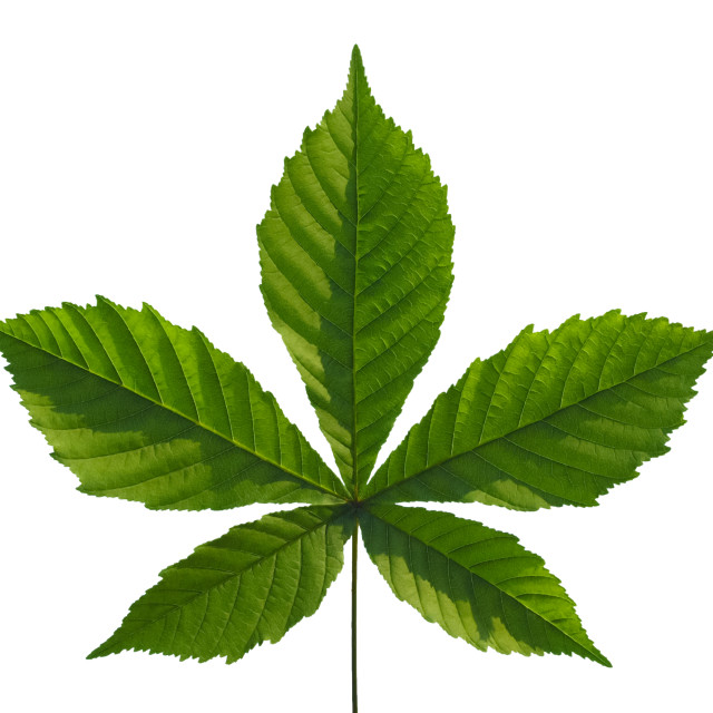 """chestnut leaf"" stock image"