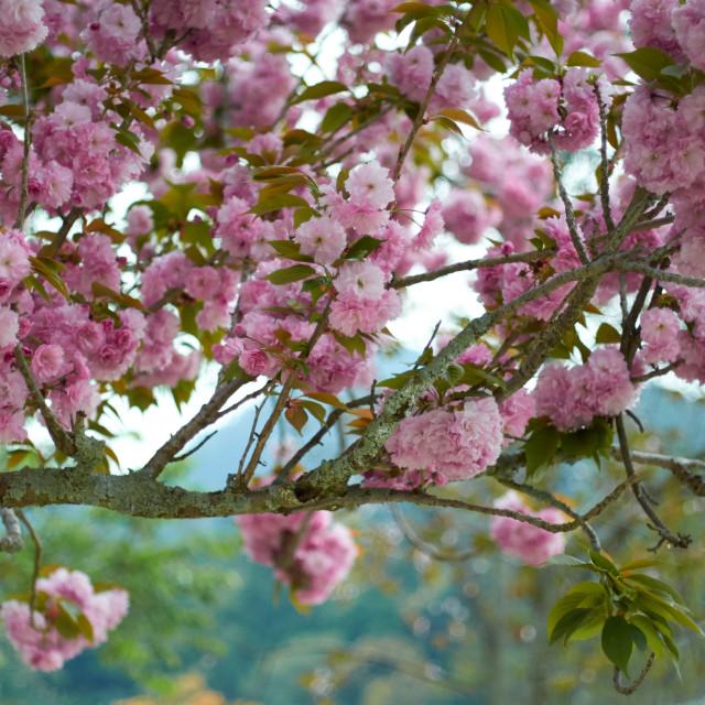 """Japanese Blossom"" stock image"