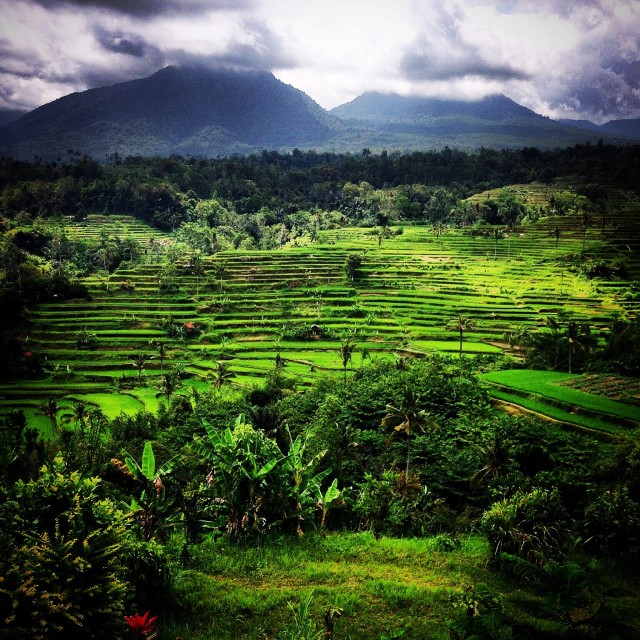 """Rice Fields in Bali"" stock image"