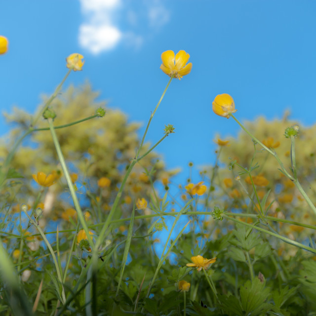 """""""Buttercups"""" stock image"""