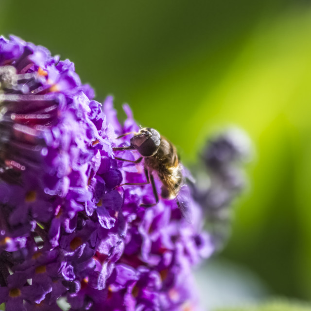 """""""Bee on Blossom"""" stock image"""