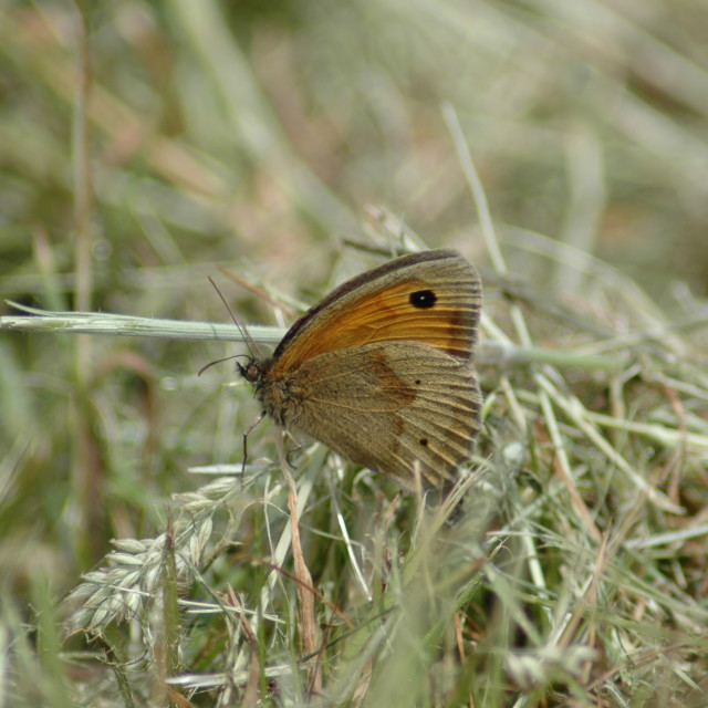 """Small Heath Butterfly"" stock image"