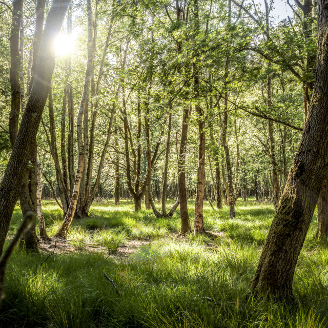 """""""Wood meadow in late afternoon sun"""" stock image"""