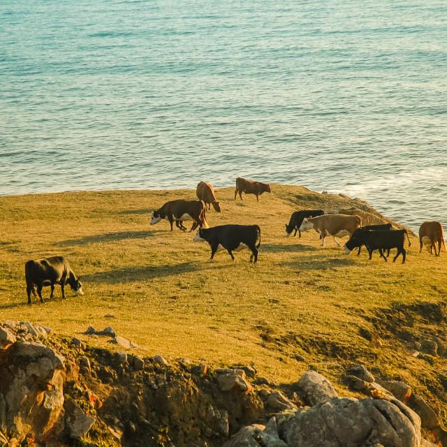 """Coastal Cows"" stock image"