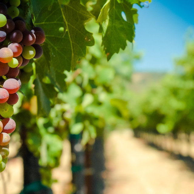 """Wine Grapes on the Vine"" stock image"