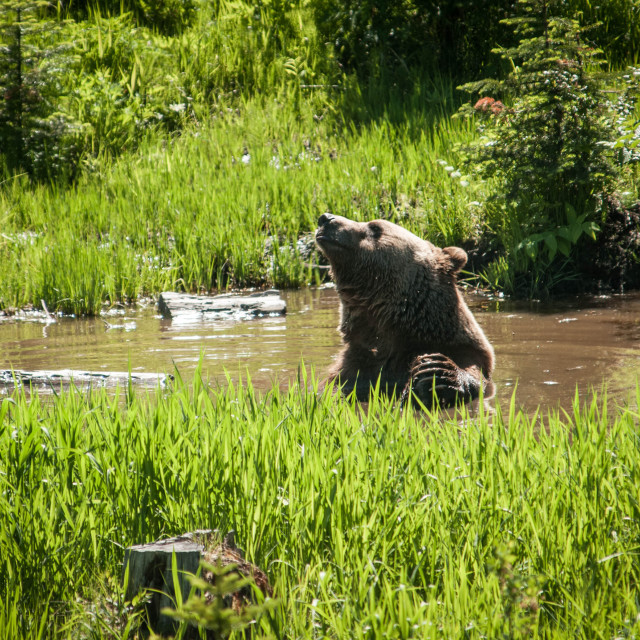 """Grizzly Bear in Canada"" stock image"