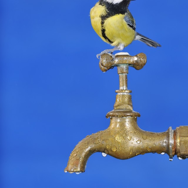 """Bird drinking water."" stock image"
