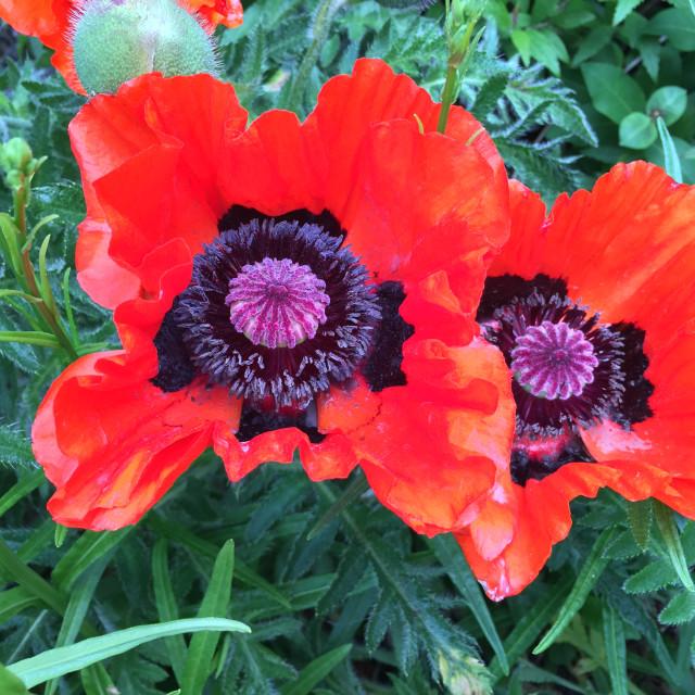 """""""Wild Big Poppies"""" stock image"""