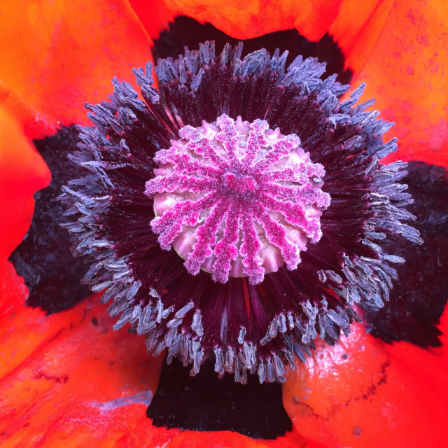 """""""Another Poppy World"""" stock image"""