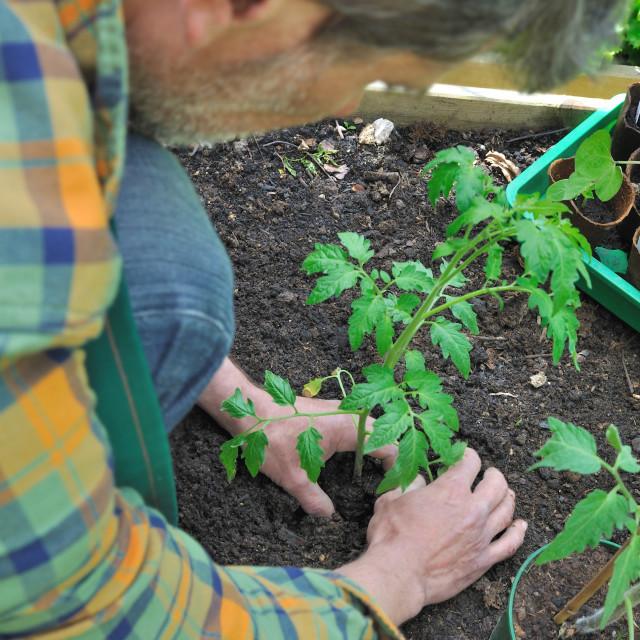 """planting tomato"" stock image"