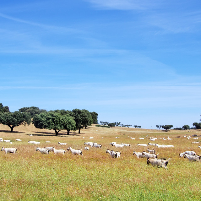 """""""goats grazing in the field at Portugal"""" stock image"""