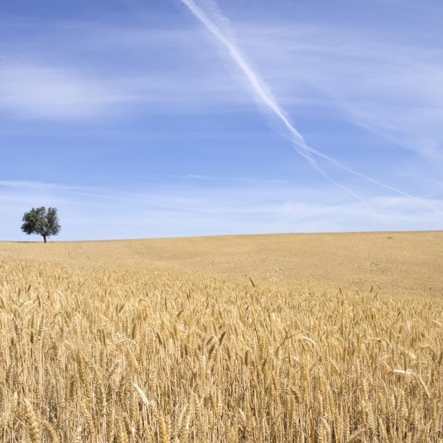 """""""ripe wheat field, Alentejo, Portugal"""" stock image"""
