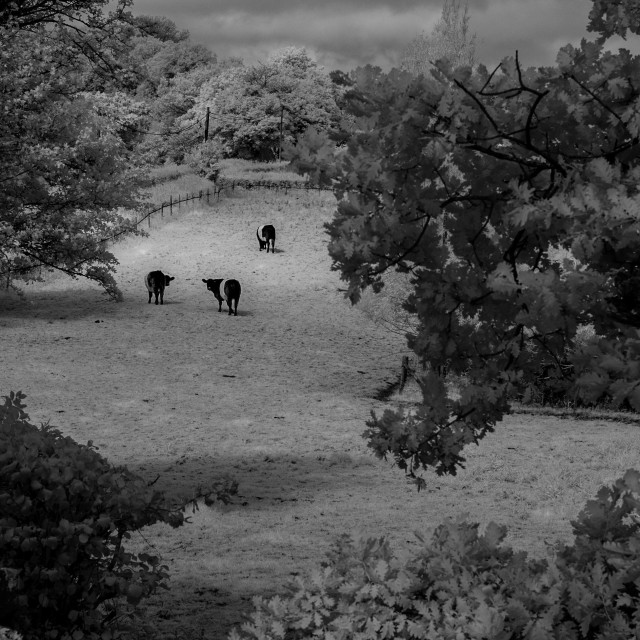 """""""Cattle through the Tree's"""" stock image"""