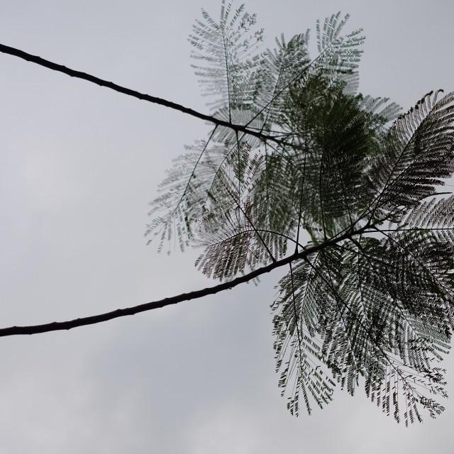 """Flamboyant Tree Leaves"" stock image"