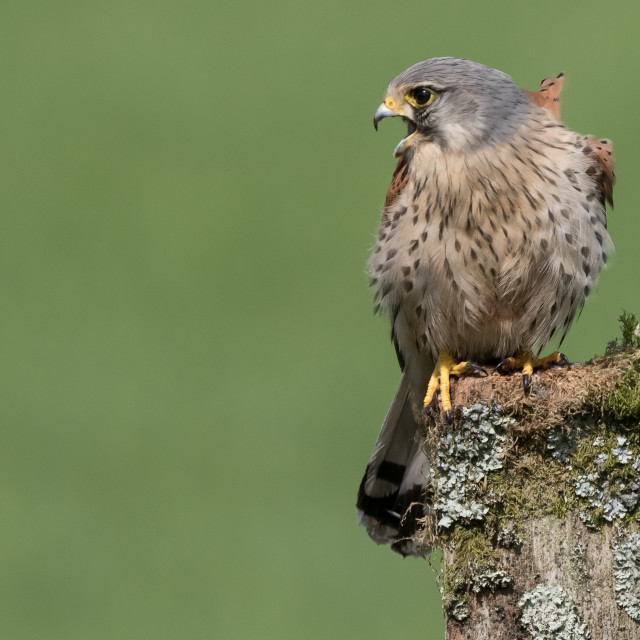 """Male Kestrel"" stock image"