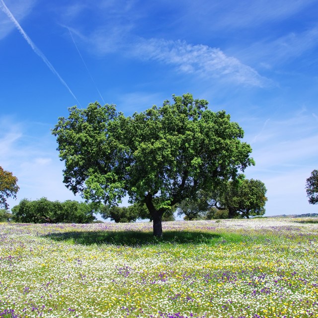 """Oak trees on spring at Portugal"" stock image"
